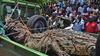 乌干达捕获1吨重食人巨鳄 被指已吃掉6人